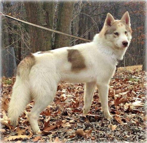 Quality AKC 7 mos Male siberian husky parents INT CH
