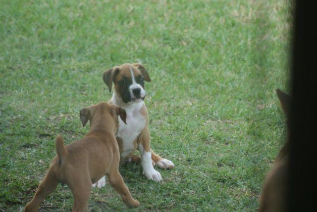 Quality AKC Boxers For Rehoming