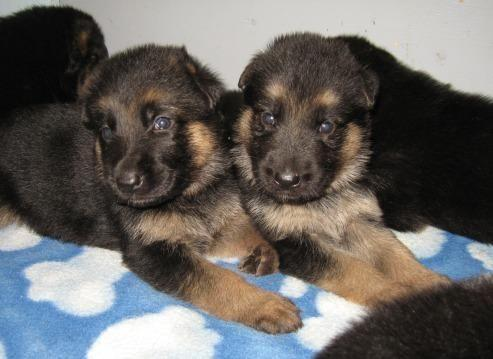 Quality Akc German Shepherd Pups For Sale In Mechanicsville