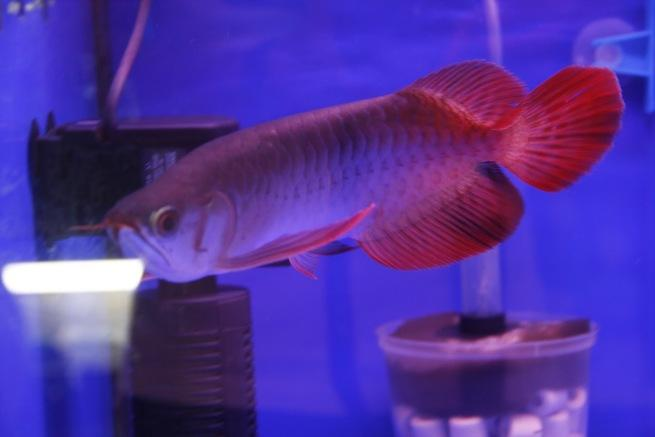 !!quality  Arowana Fish for sale and many more at a