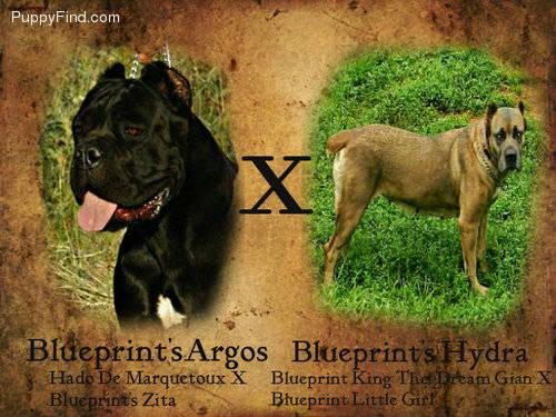 Cane corso for sale in pennsylvania classifieds buy and sell in cane corso for sale in pennsylvania classifieds buy and sell in pennsylvania page 3 americanlisted malvernweather Image collections