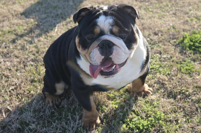 Quality English Bulldog Stud For Sale In Sugar Land