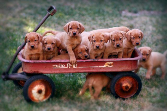 Quality Fox Red Akc Labrador Retriever Puppies For Sale In Cameron