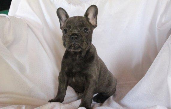Quality French Bulldog puppies available for sale for Sale ...