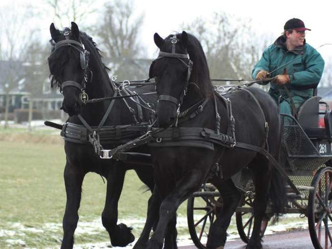 Quality Friesian Horse for sale