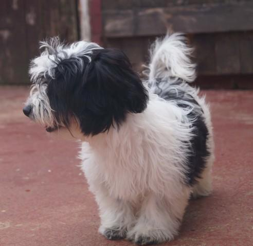 Quality Havanese puppies available and ready to go now