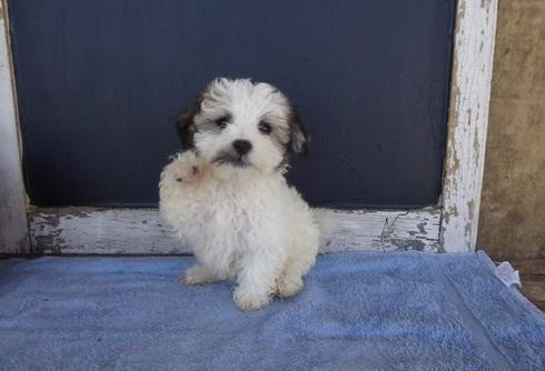Quality Havanese Puppies Available For Sale For Sale In Montgomery
