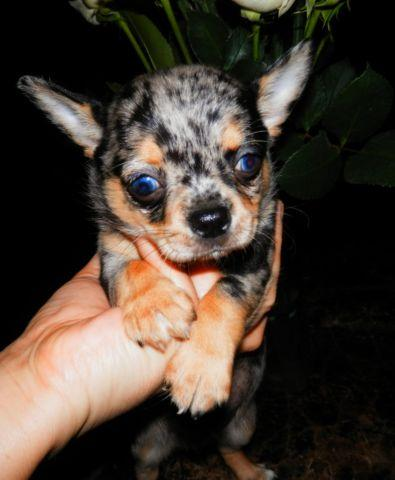 blue eyed chihuahua quality merle male chihuahua blue eyes for sale in eustis 6082