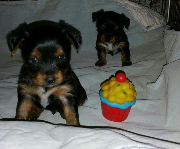 yorkie puppies for sale in philadelphia quality ukci irish yorkie puppies just in time for easter 6163