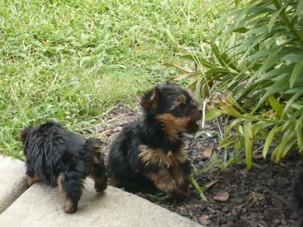 yorkie puppies for sale in philadelphia quality yorkie puppies for adoption for sale in 5277
