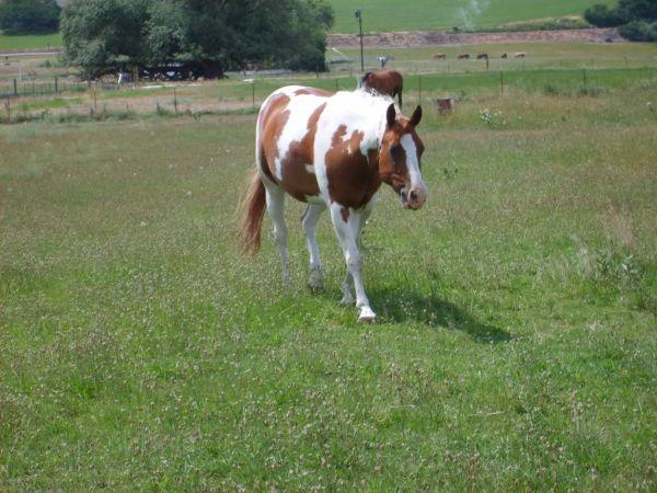 Quarter horse mare and Paint gelding (Ellensburg)