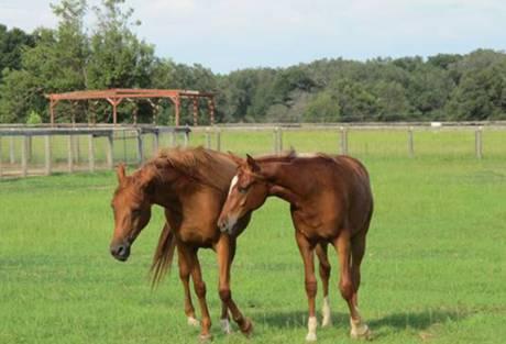 Quarterhorse - Blackie - Large - Senior - Male - Horse