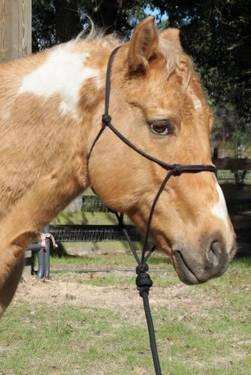 Quarterhorse - Booray - Small - Adult - Male - Horse