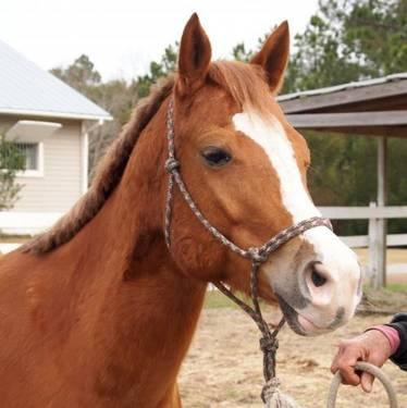 Quarterhorse - Honey - Small - Adult - Female - Horse