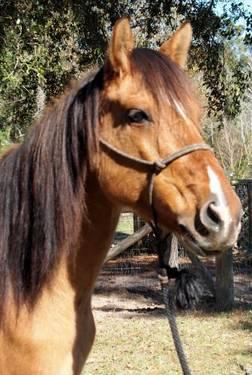 Quarterhorse - Lucy - Small - Adult - Female - Horse
