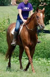 Quarterhorse - Prince - Medium - Adult - Male - Horse