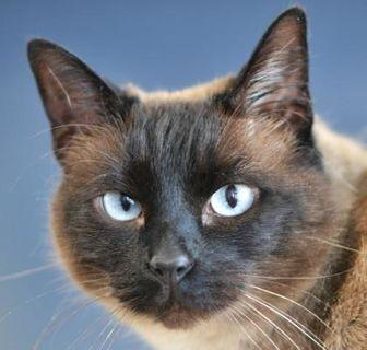 Queen Mary Siamese Adult Female