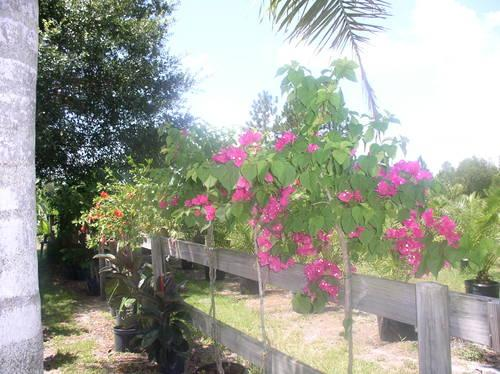 Queen Palm Trees Cheap For Sale In Oviedo Florida