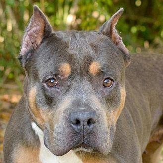 Queen Pit Bull Terrier Adult Female