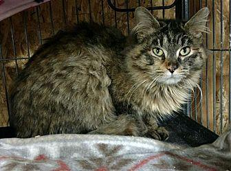 Queenie Domestic Longhair Young Female