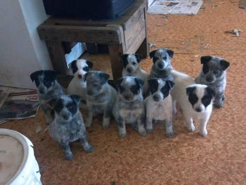 Blue Heelers For Sale : Queensland blue heeler puppies for sale in selma oregon classified