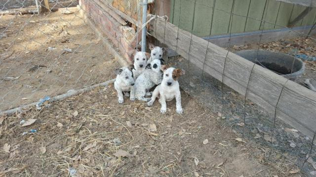 queensland heeler puppies for sale in sacramento california queensland ...