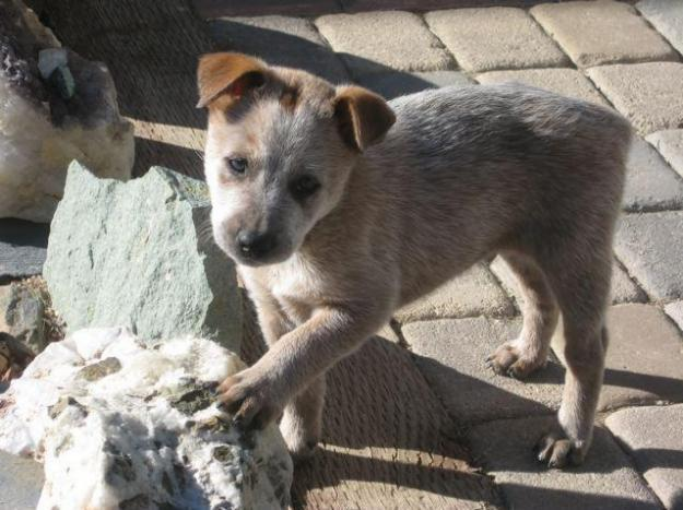 Queensland Heeler Puppies Cattle Dogs For Sale In Crater
