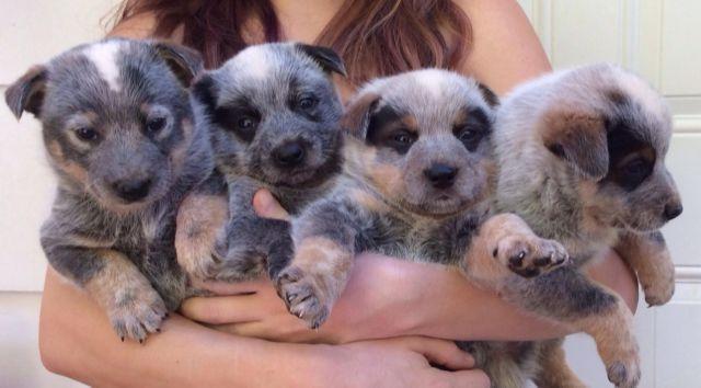 Queensland+Heeler+Breeders+In+California Queensland Heeler Puppies ...