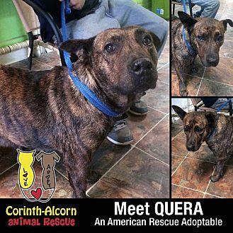 QUERA Plott Hound Adult Female