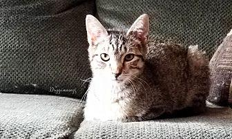 Quigley Domestic Shorthair Kitten Male