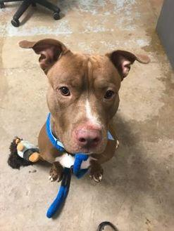 Quintus American Pit Bull Terrier Adult Male