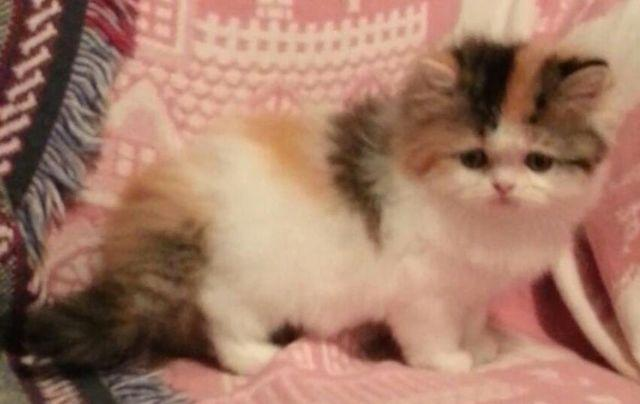 Ragamuffin Cat For Sale Michigan