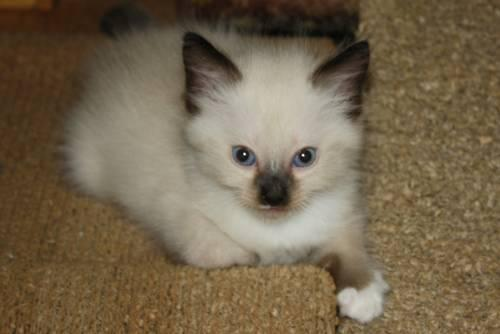 Ragdoll BLUE EYES 8 Wks Male READY FOR NEW FAMILY.