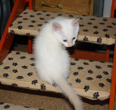 Ragdoll BLUE EYES Flame Point Male