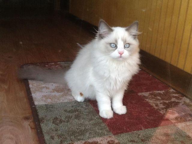 Ragdoll Female kitten blue bicolor Mom and Dad are TICA