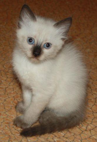 Ragdoll Female Kittens