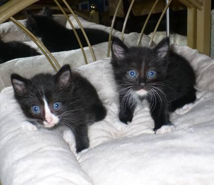 Ragdoll & Highlander Kittens MALE Ready To Go
