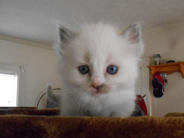 Ragdoll Kitten For Sale In Toledo Ohio Classified