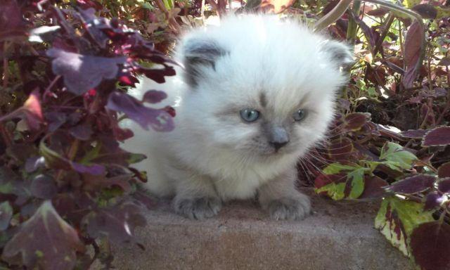 RAGDOLL KITTEN Male Blue Point ~ Topaz Blue Eyes ~ ( Fluffy Purebred)