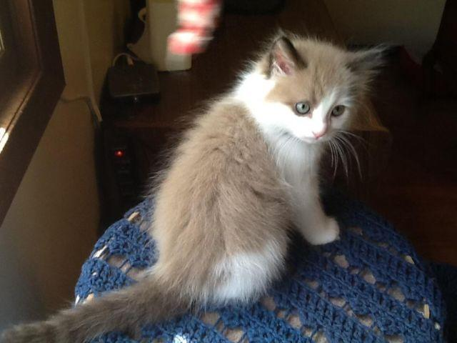 Ragdoll Kitten Mink Male Mom and Dad are TICA