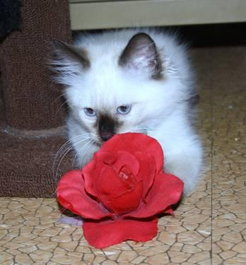 Ragdoll Kitten Ready to Go. Male.