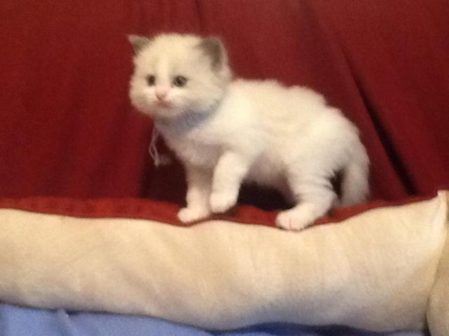 Ragdoll Kitten soon Ready reserve yours Mom and Dad are