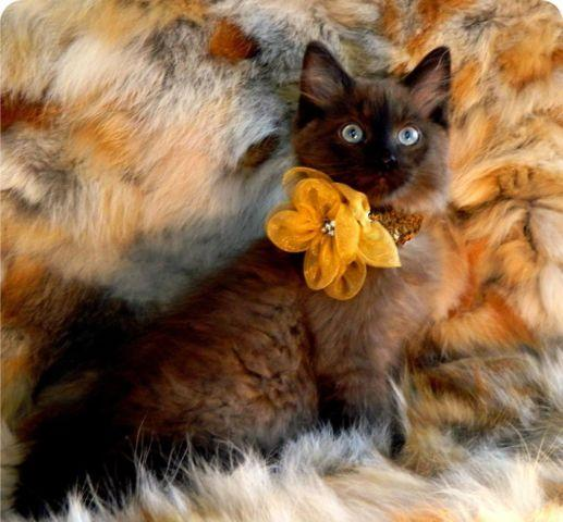 Ragdoll Kitten TICA Sepia Seal Minks We have Two