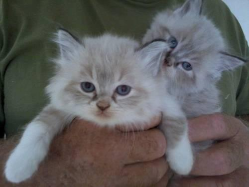 Ragdoll Breeders in Florida | Kittens for Sale