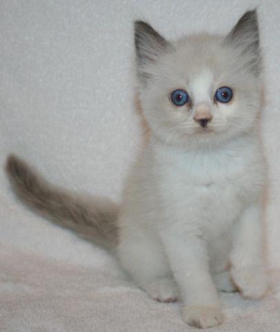 Ragdoll Kittens - frk