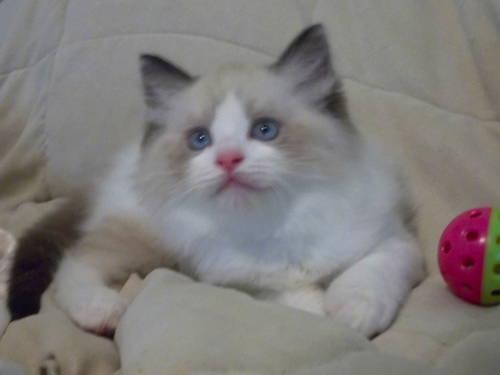 Ragdoll kittens luxury kittens for sale for sale in augusta