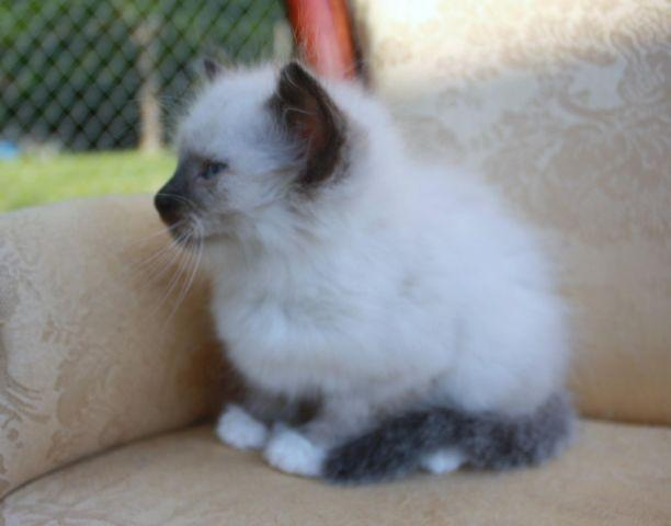 Ragdoll Kittens Male and Female.