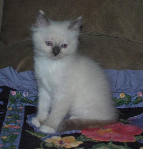 Ragdoll Kittens - Price Reduced! Bred for Temperament