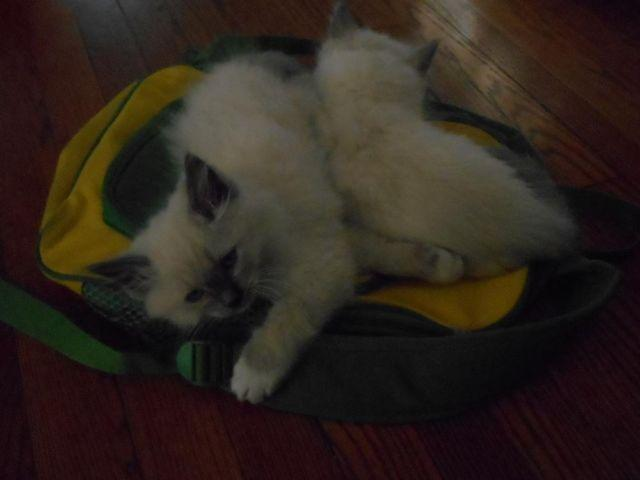 Ragdoll kittens TICA registered