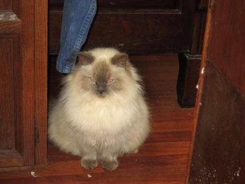 Ragdoll - Lady Martha - Extra Large - Young - Female -